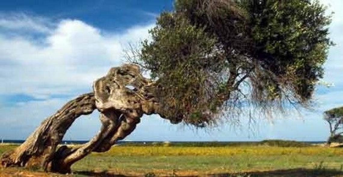 Bisogna proteggere gli olivi salentini dal fuoco