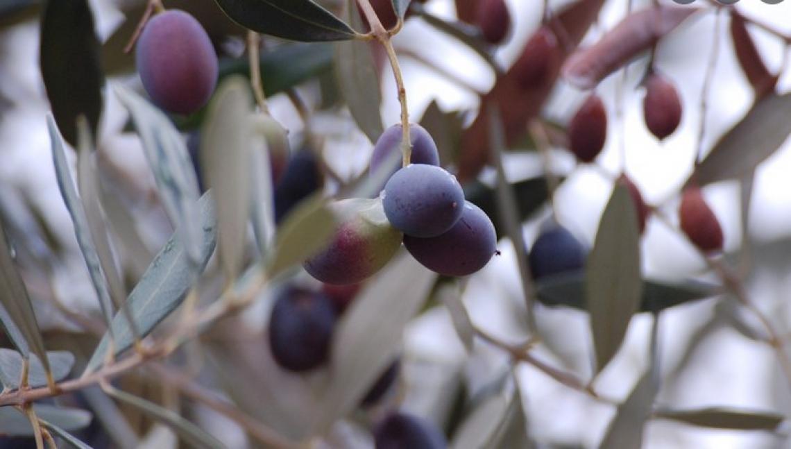 Le sorprese del germoplasma olivicolo italiano: dalla Puglia l'Oliva Rossa