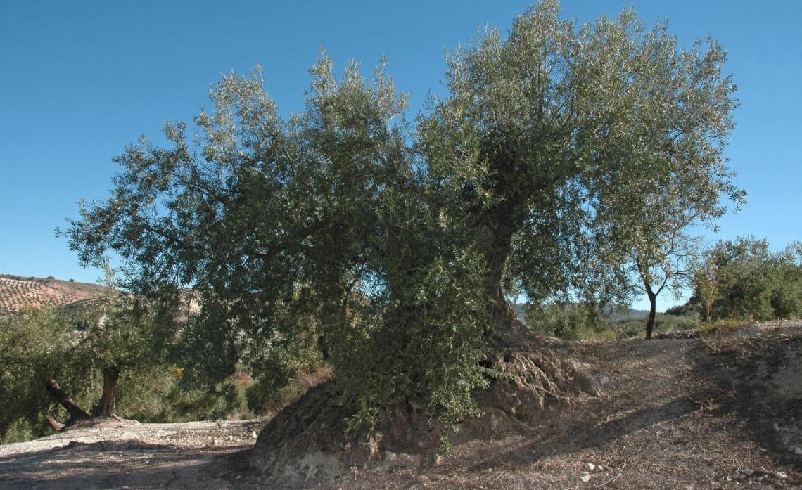 L'olivicoltura italiana ha bisogno di irrigazione per sopravvivere