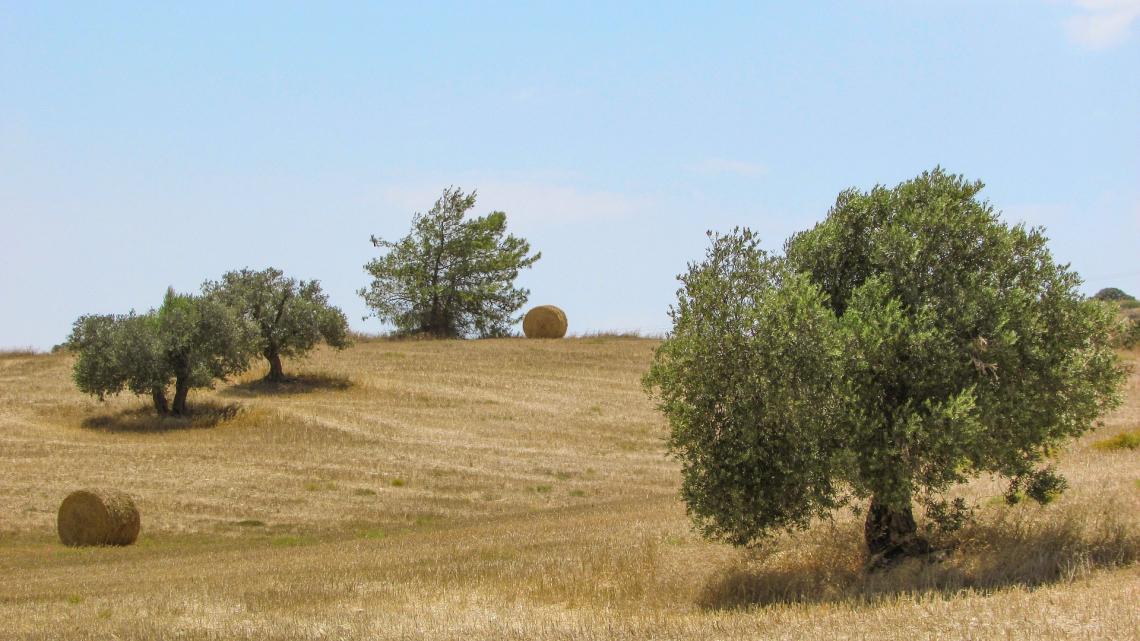 La verità sull'impatto ecologico degli oliveti intensivi e superintensivi