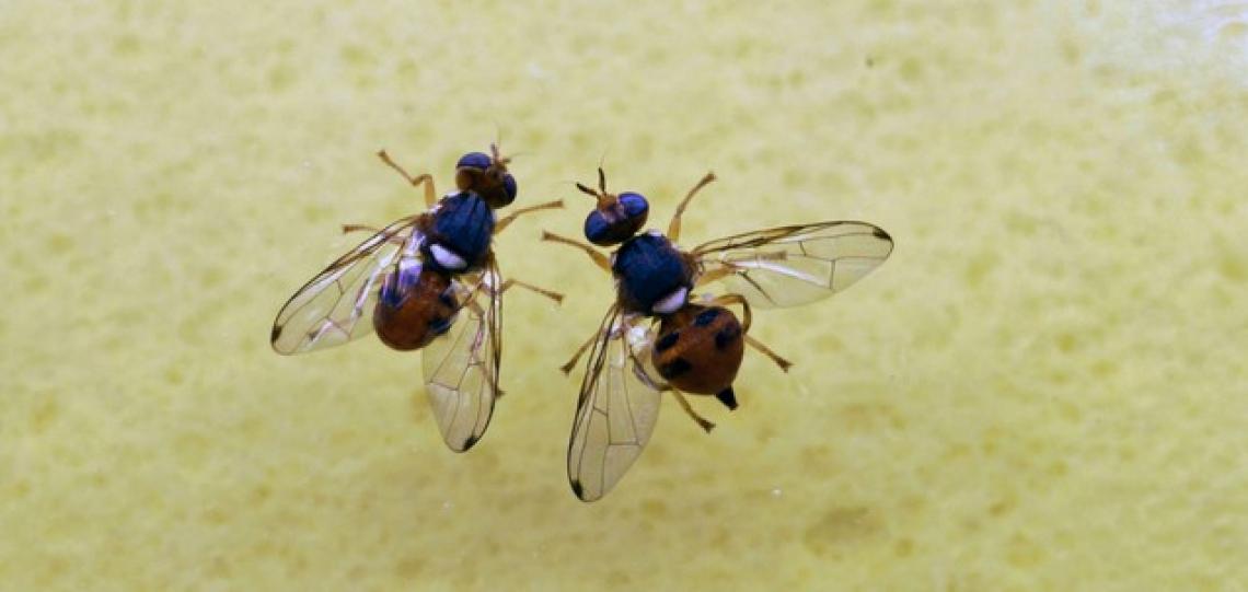 Il ruolo dei batteri endofiti nel controllo della mosca delle olive
