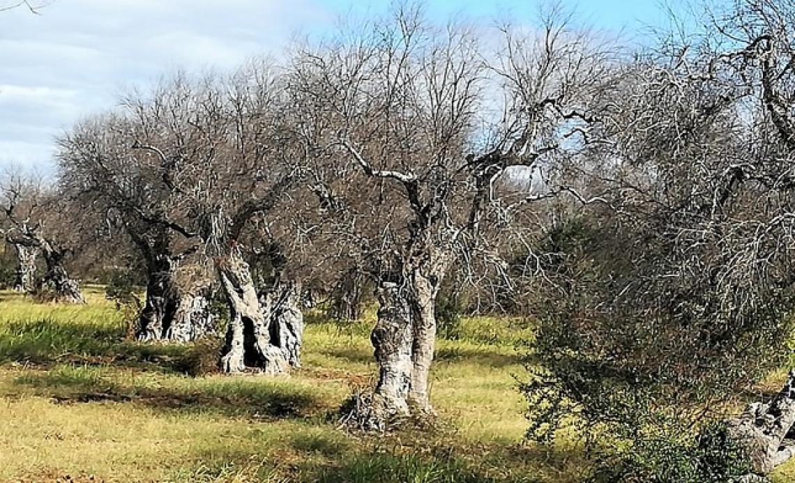Oltre a Leccino e FS17 anche varietà frutticole resistenti o tolleranti a Xylella