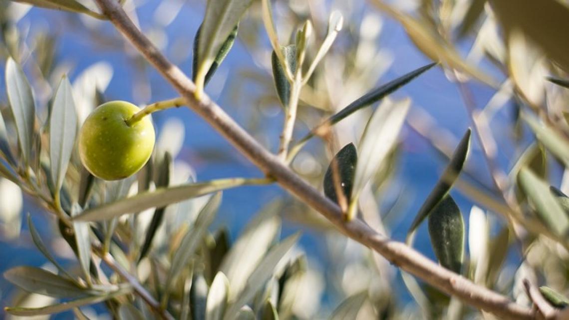 L'influenza della fertilizzazione fogliare sui microrganismi associati all'olivo