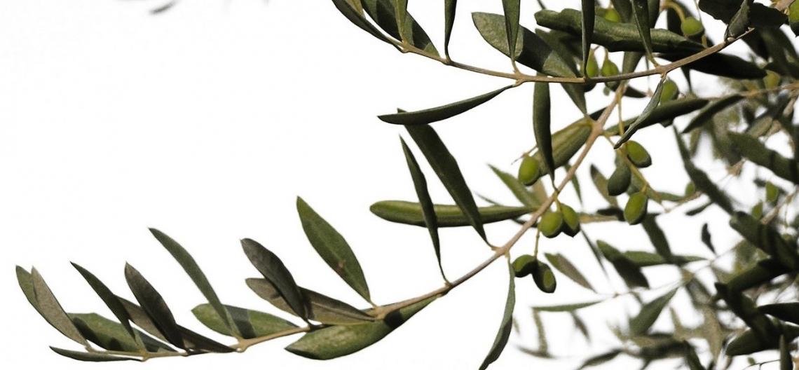 Ecco quanto le temperature estive possono influenzare l'accumulo d'olio nell'oliva e la sua qualità