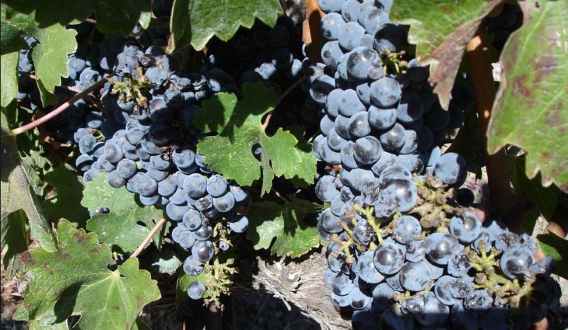 Una fertilizzazione fogliare con azoto all'invaiatura migliora il colore dei vini Cabernet Sauvignon
