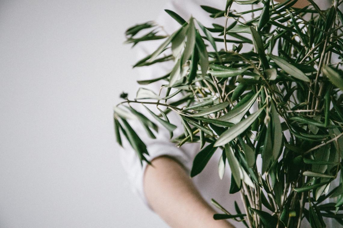 L'utilizzo dell'olivo in erboristeria: dall'antichità all'attualità