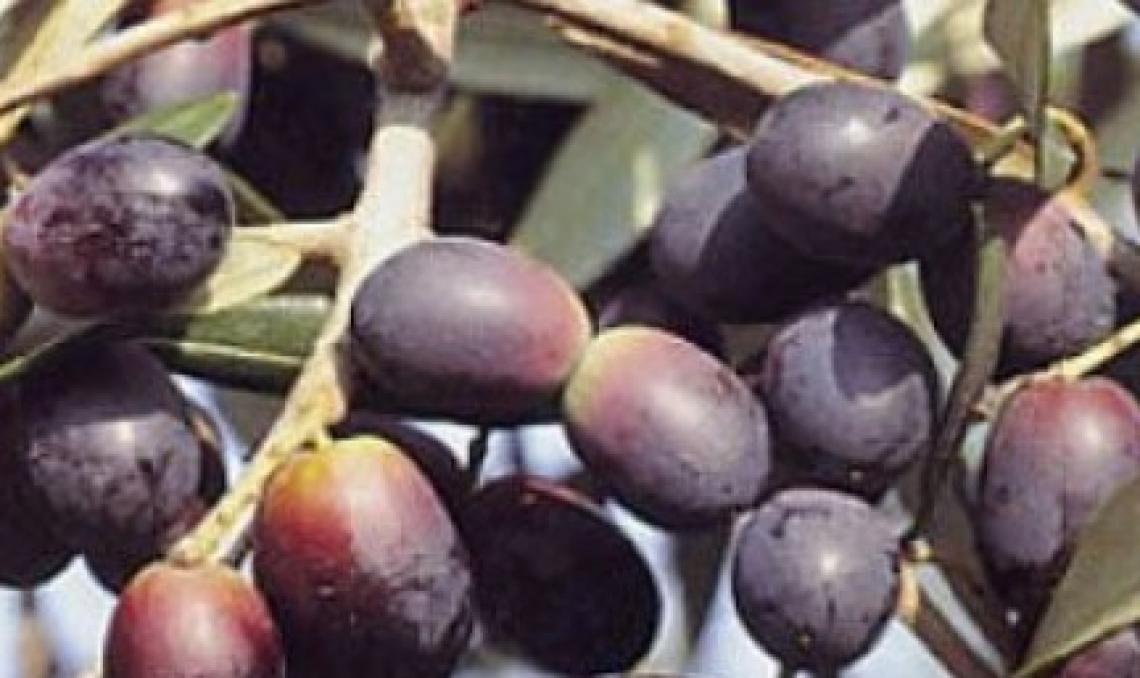 L'utilizzo dell'etilene alla raccolta influenza il profilo aromatico dell'olio
