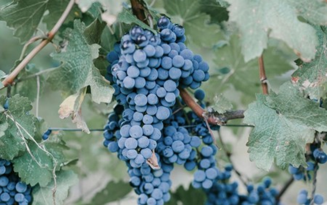 L'uso di biostimolanti auxinici può ritardare la maturazione dell'uva di 3-4 settimane