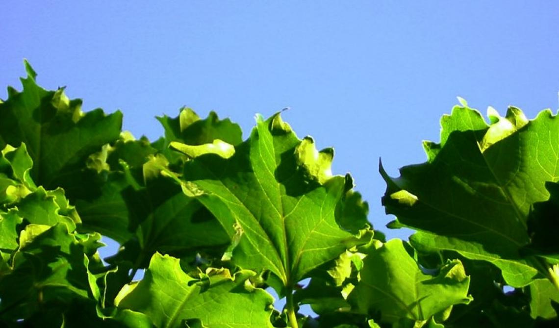 I vitigni resistenti a peronospora ed oidio conquistano il mercato