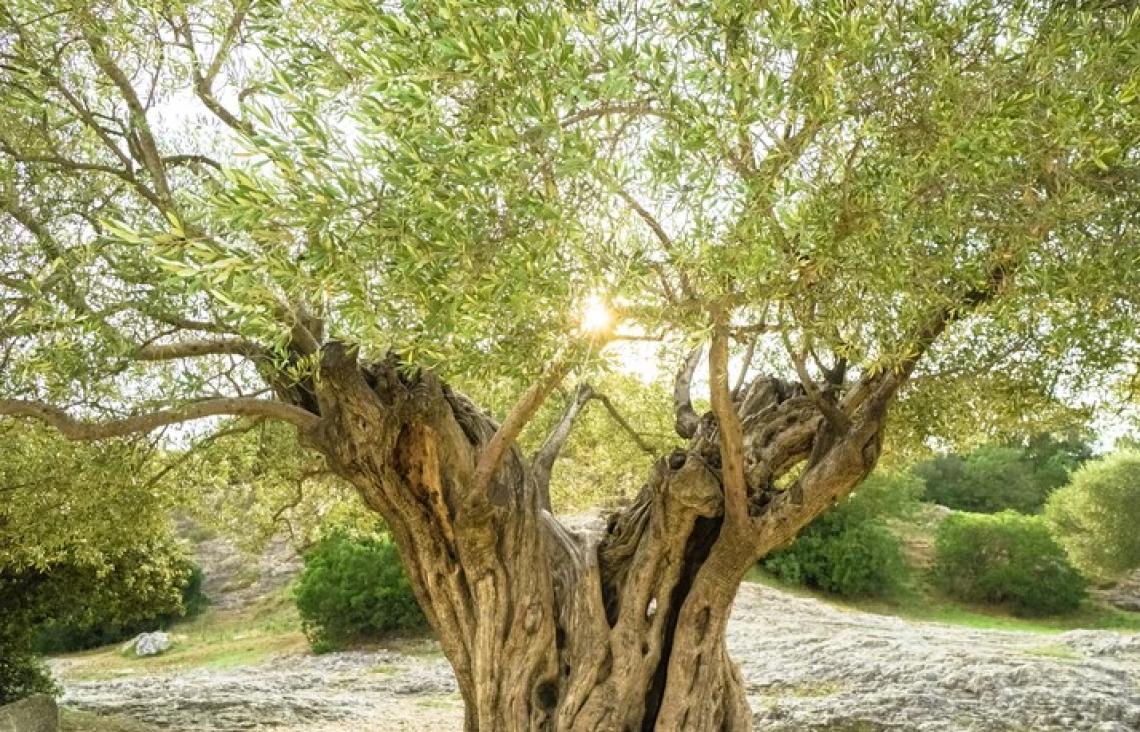 A rischio abbandono 5,5 milioni di ettari di oliveti tradizionali
