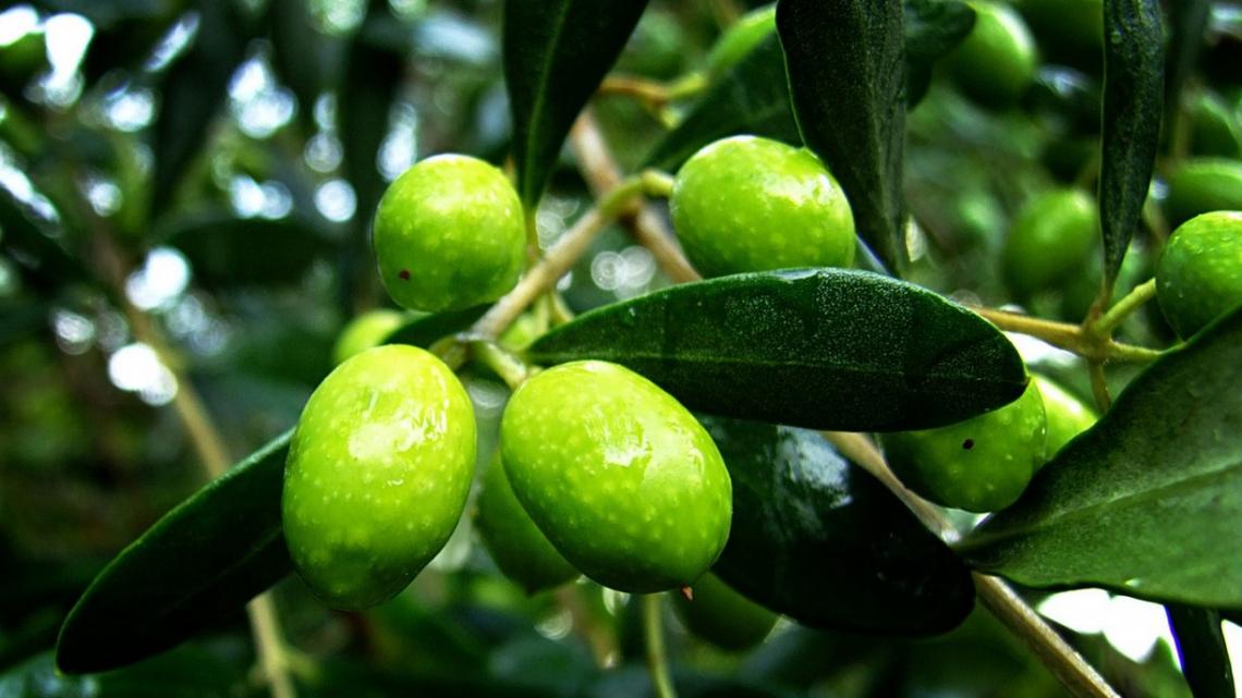 Raffreddare le olive prima dell'estrazione dell'olio: una via praticabile?