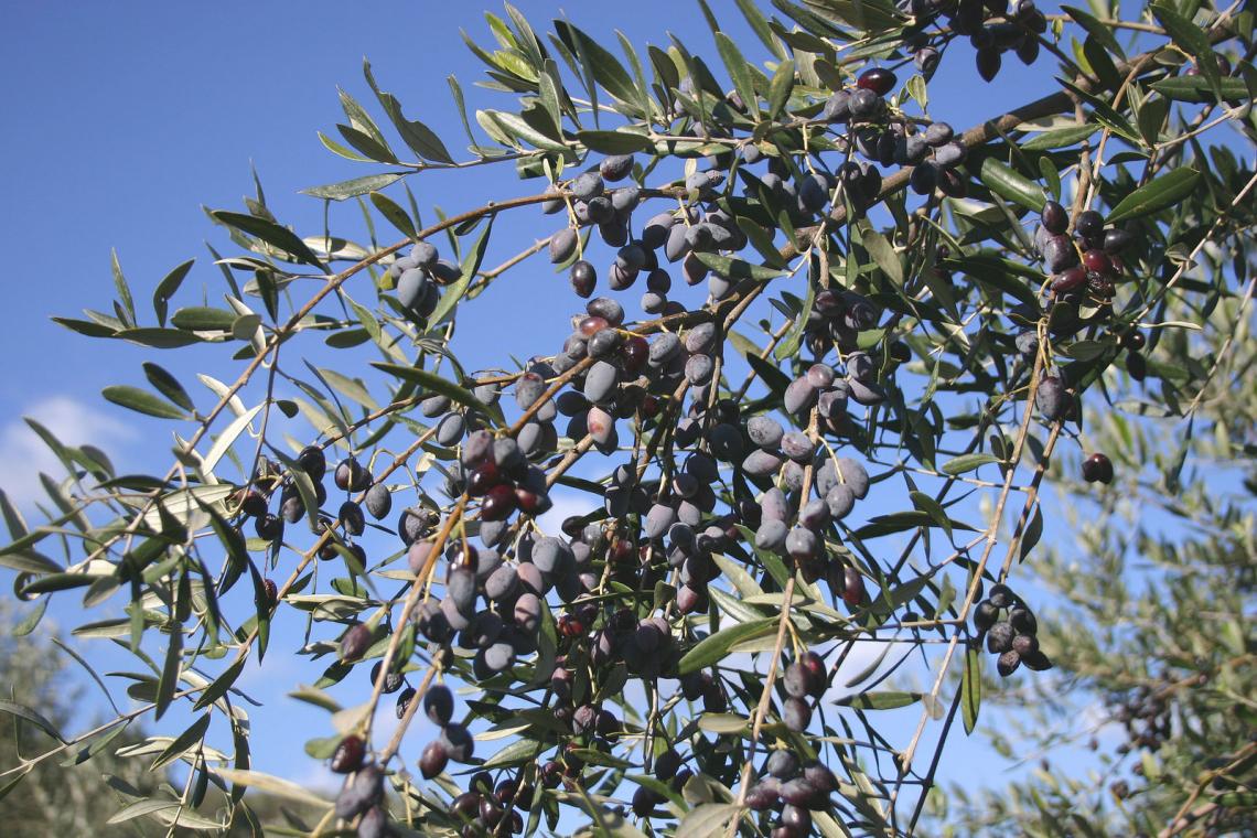 Il profilo organolettico dell'olio extra vergine d'oliva è varietà dipendente e ora sappiamo la ragione
