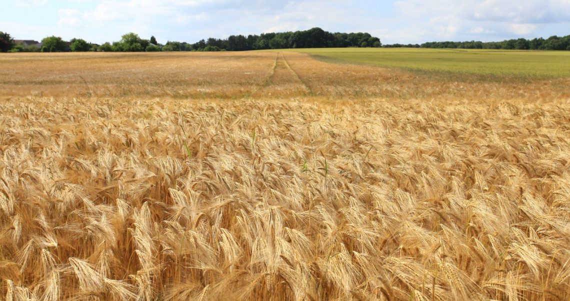 La selezione genetica del grano ora si basa sull'adattabilità al clima
