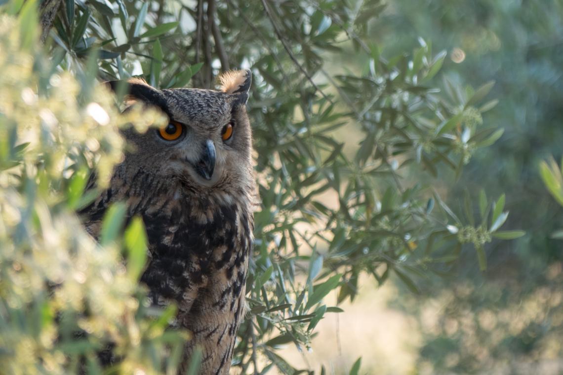L'oliveto è l'agroecosistema ideale per recuperare l'equilibrio naturale