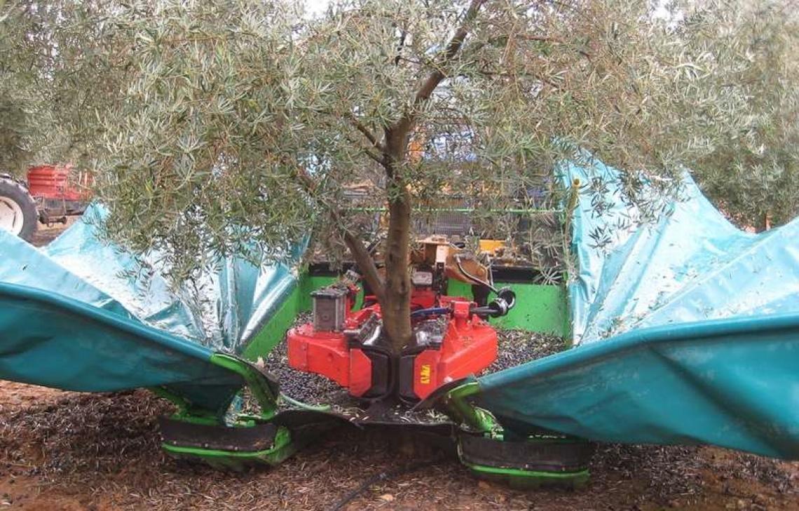 La raccolta meccanizzata delle olive peggiora la qualità dell'olio
