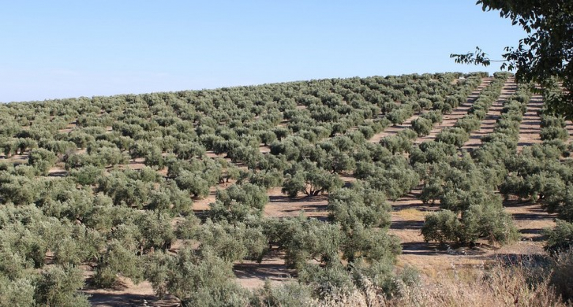 Nel 2020/21 la Spagna ha prodotto solo 600 mila tonnellate di olio extra vergine d'oliva