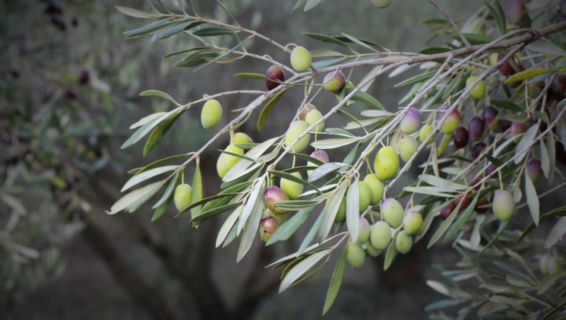 L'influenza delle oscillazioni termiche sull'accumulo di olio nell'oliva
