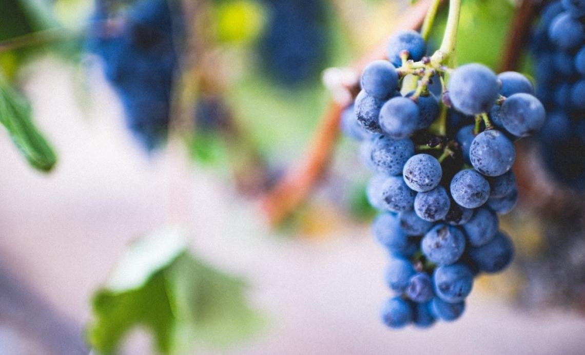 I benefici di una disidratazione controllata dei grappoli per vini Merlot