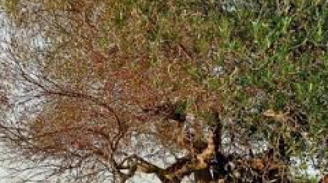 Aiuti per gli olivicoltori pugliesi colpiti da cali produttivi dovuti a Xylella