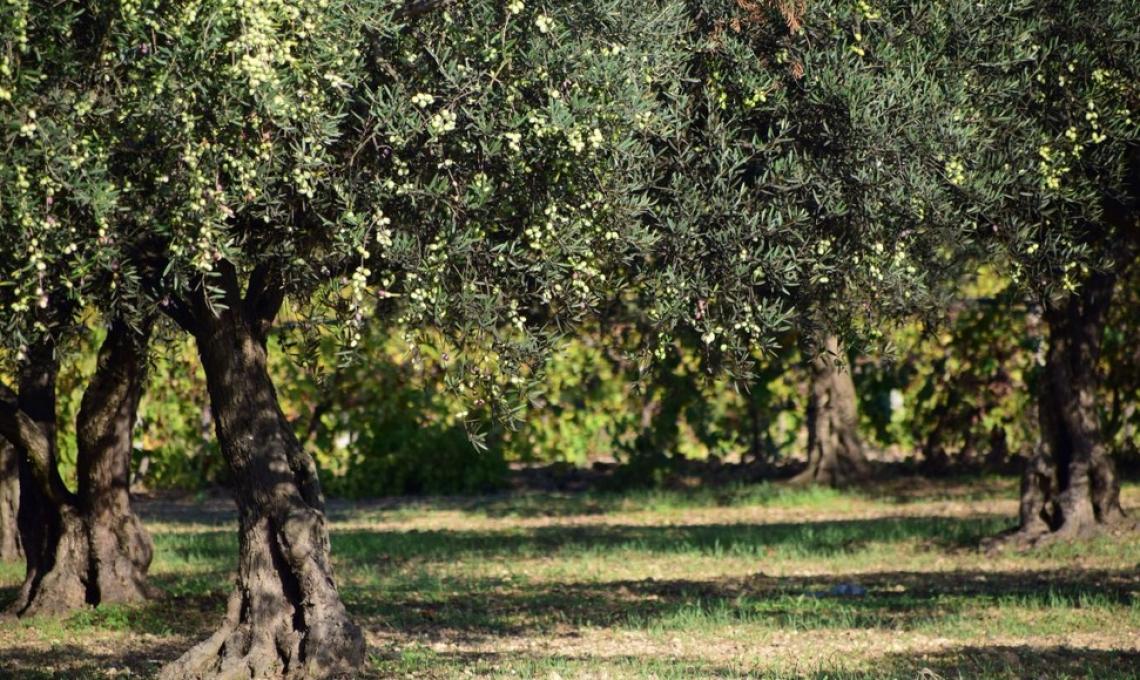 Il futuro dell'olivicoltura mondiale è solo irriguo
