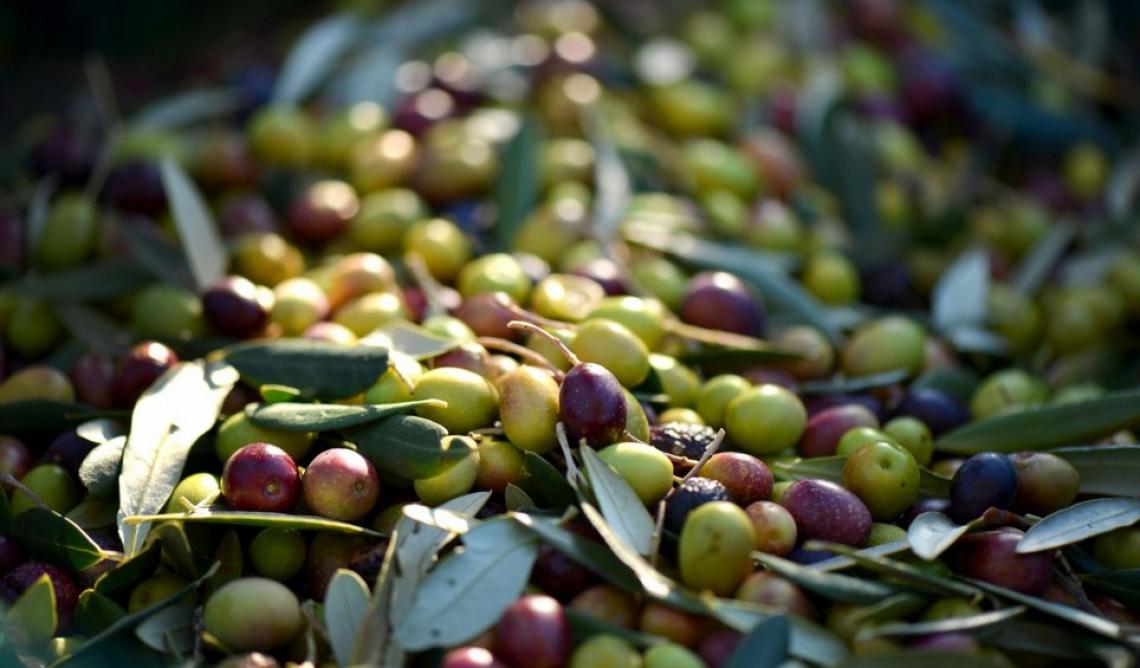 Produzione d'olio d'oliva italiano oltre le 300 mila tonnellate secondo Unaprol