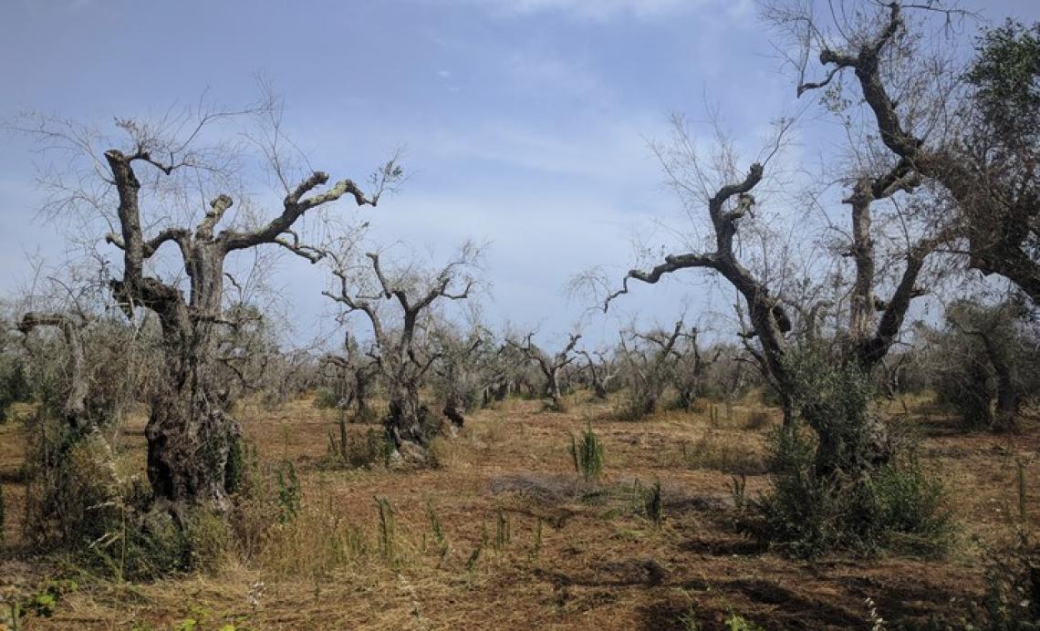 I geni dell'olivo che preservano dalla siccità potrebbero rendere le piante più sensibili a Xylella
