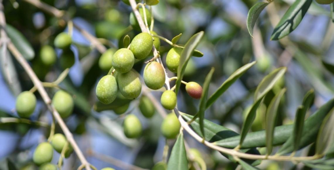 Aumentare resa ed estraibilità dell'olio trattando con etilene all'inviaiatura delle olive