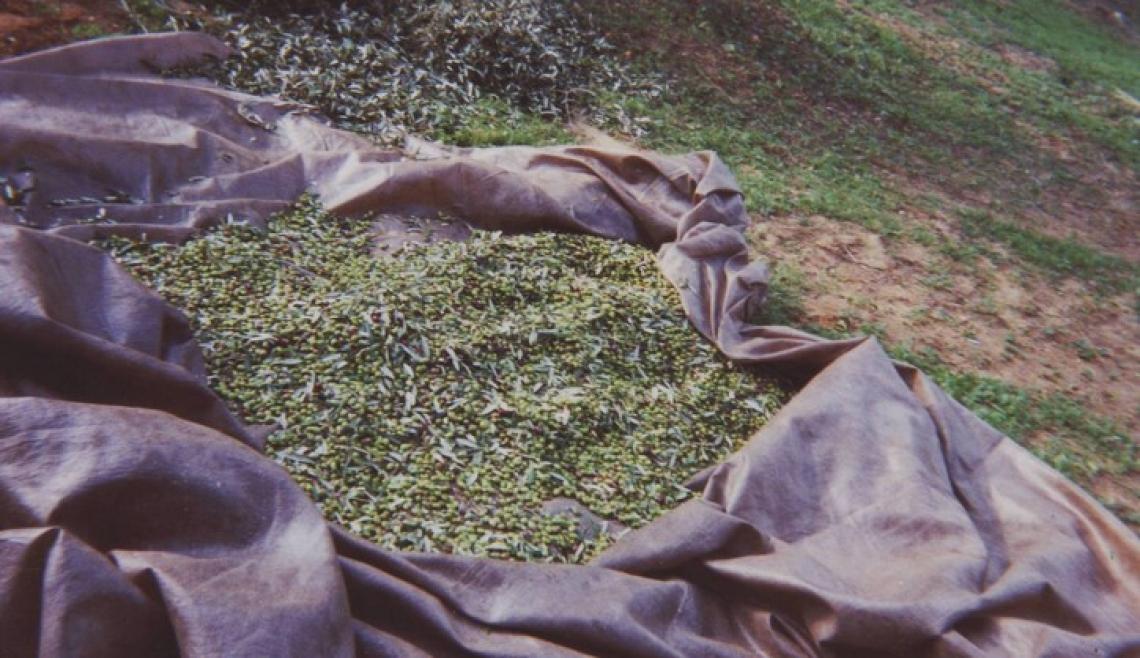 Impatto economico e ambientale dei diversi sistemi di raccolta delle olive