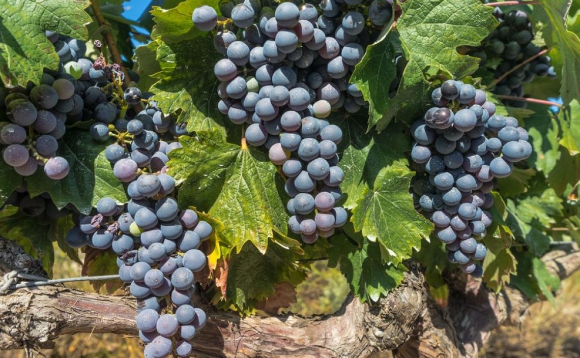 Ridurre colore, astringenza e amarezza del vino con la prefermentazione a freddo