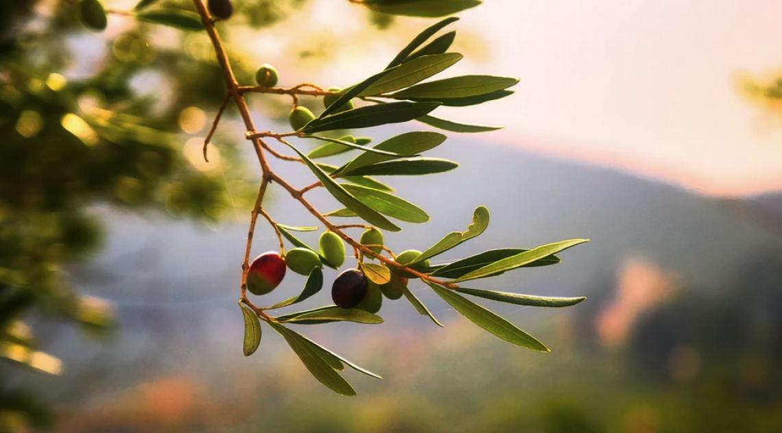 La vera affidabilità del colore per stabilire lo stato di maturazione delle olive