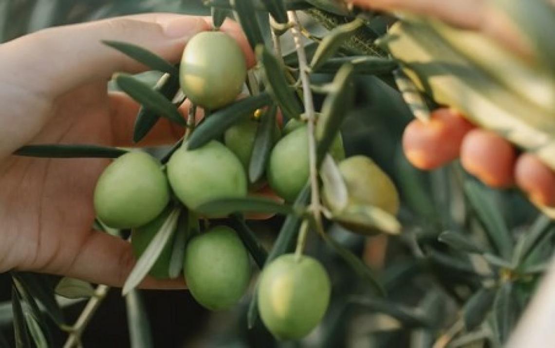 Cosa cambia all'interno dell'oliva durante la maturazione?