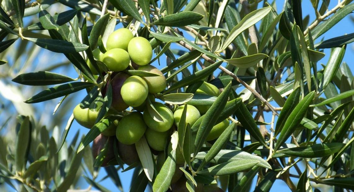 Il diverso profilo aromatico delle cultivar olivicole minori italiane e l'impatto sugli oli monovarietali