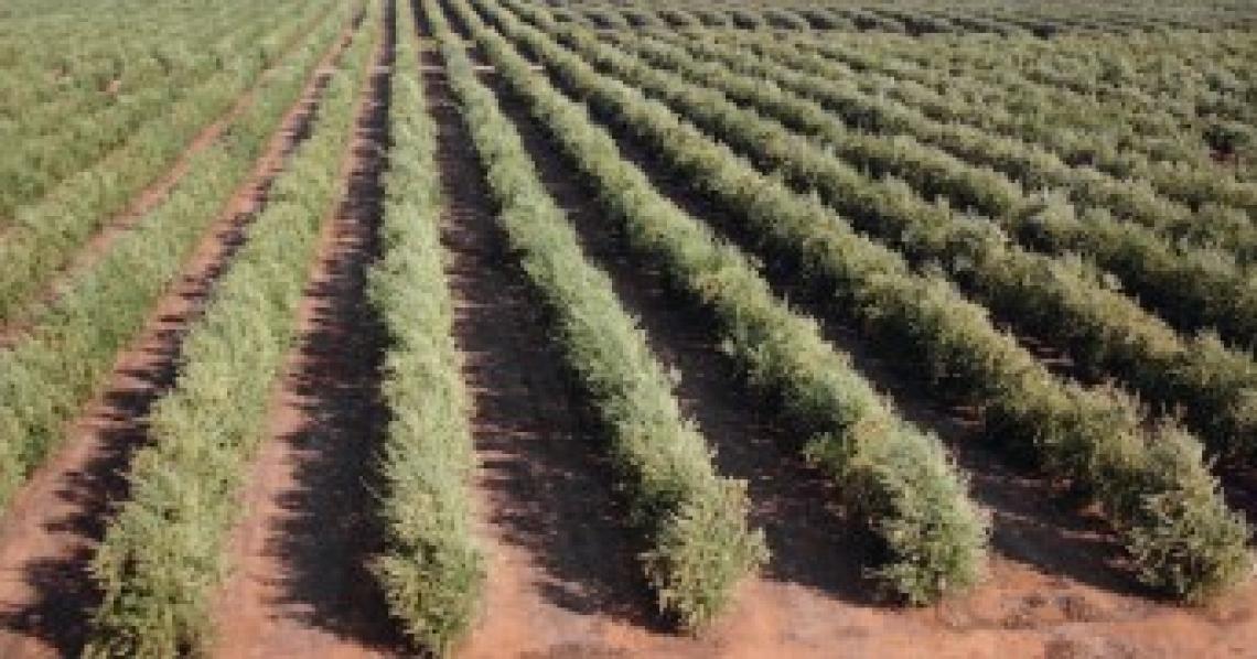 Intensificare l'olivicoltura italiana: fino a dove è possibile spingersi?