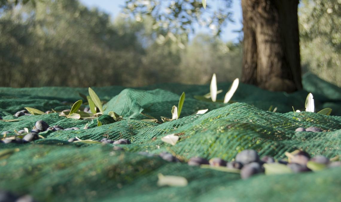 Ecco come le ammaccature sulle olive causate dalla raccolta peggiorano la qualità dell'olio