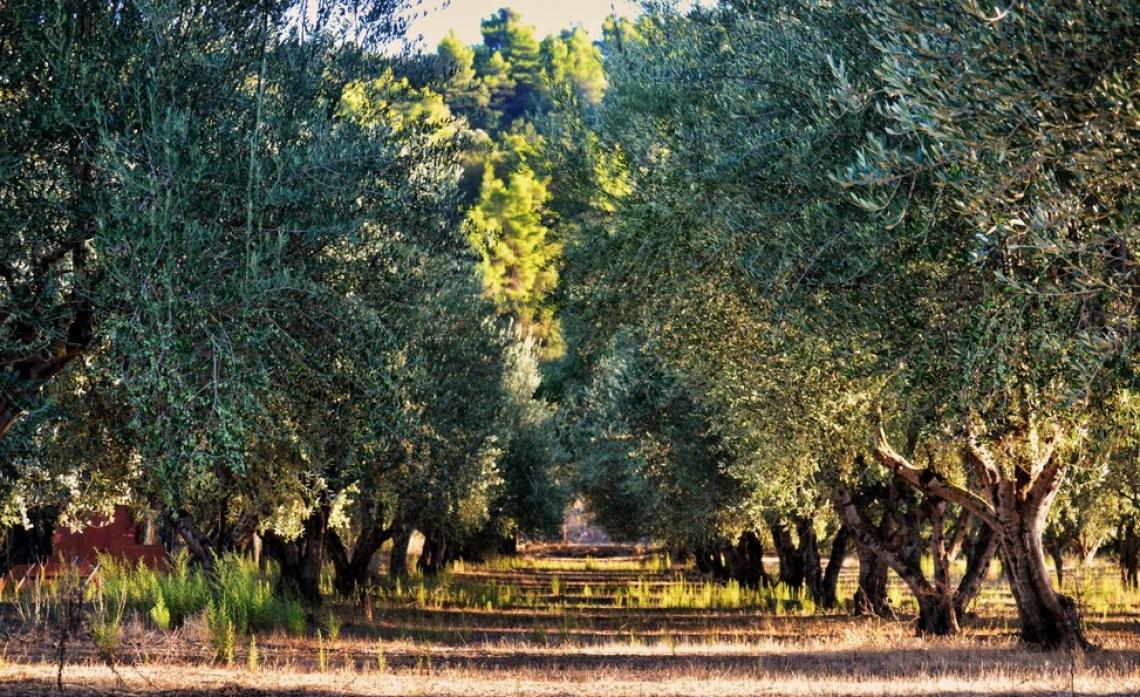 Tecnica e professionalità olivicola italiana conquistano la Spagna