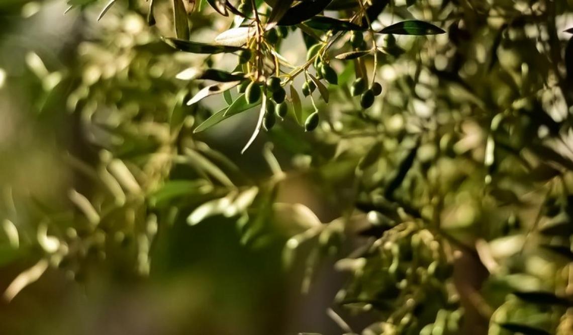Le genesi e la formazione dei composti fenolici nell'oliva