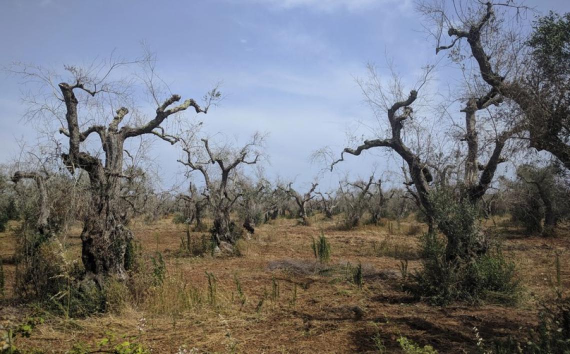 Fermi i 40 milioni di euro per la nuova olivicoltura del Salento