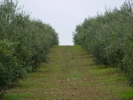 Olivi della famiglia Librandi