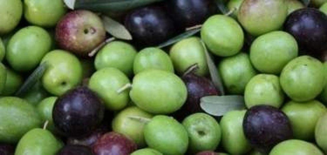 Il grado di invaiatura delle olive non è sempre sinonimo di maturità