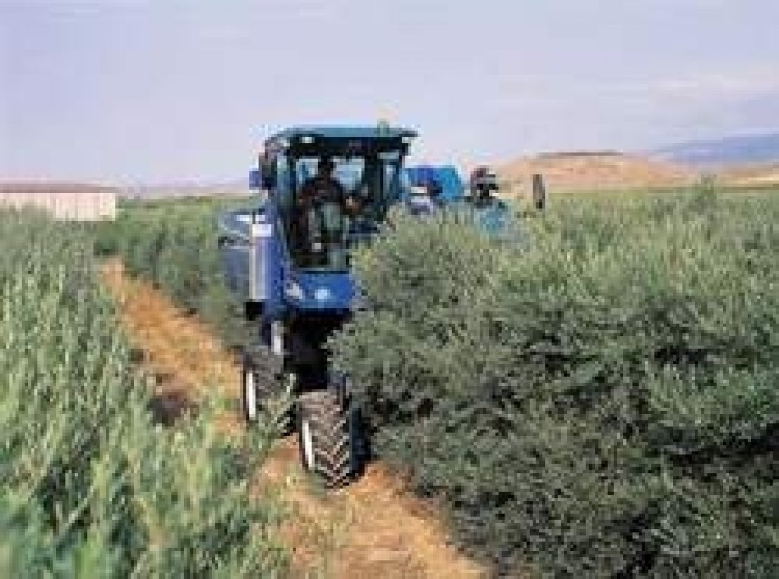 Il superintensivo spagnolo conviene davvero agli olivicoltori italiani?