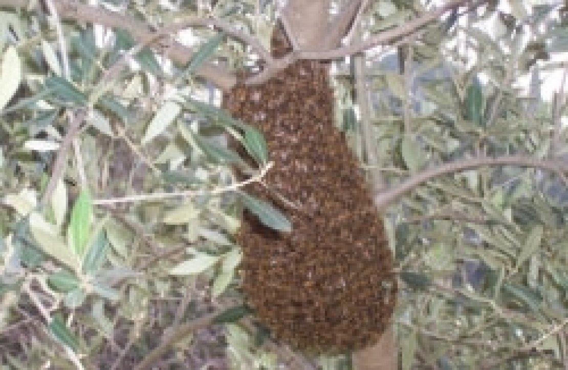 Le api non fanno l'olio e nemmeno le olive