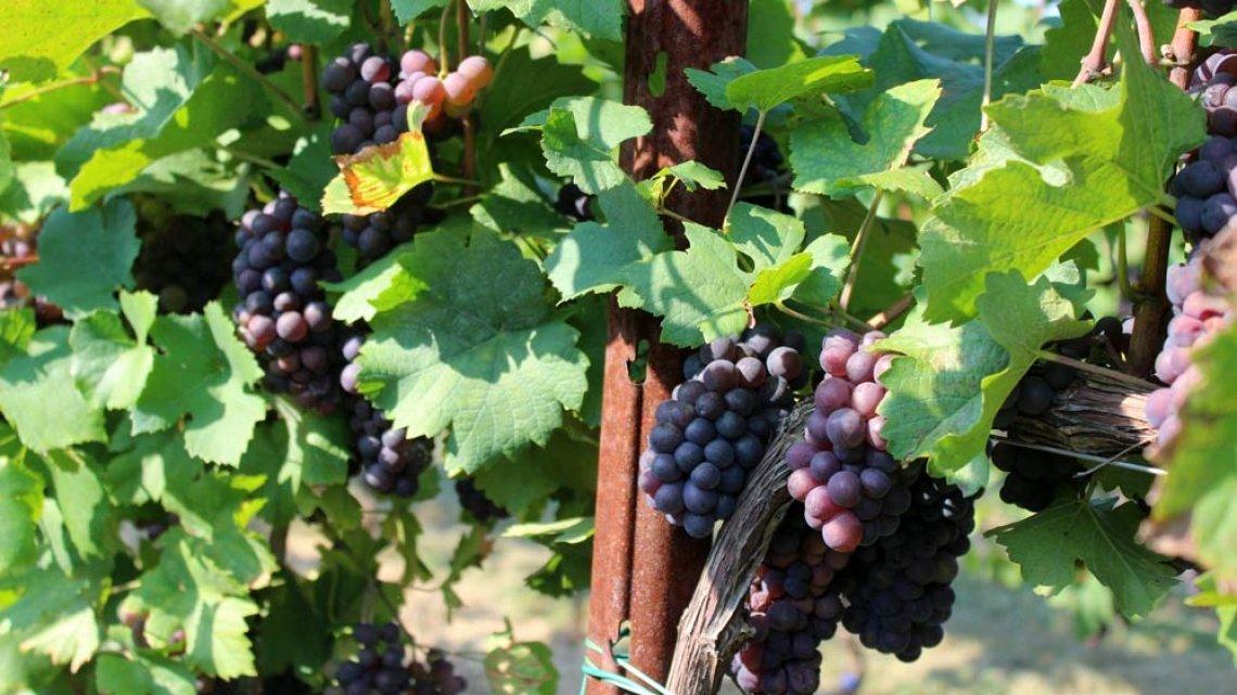 Anche in Toscana la sperimentazione in campo delle viti resistenti ai funghi