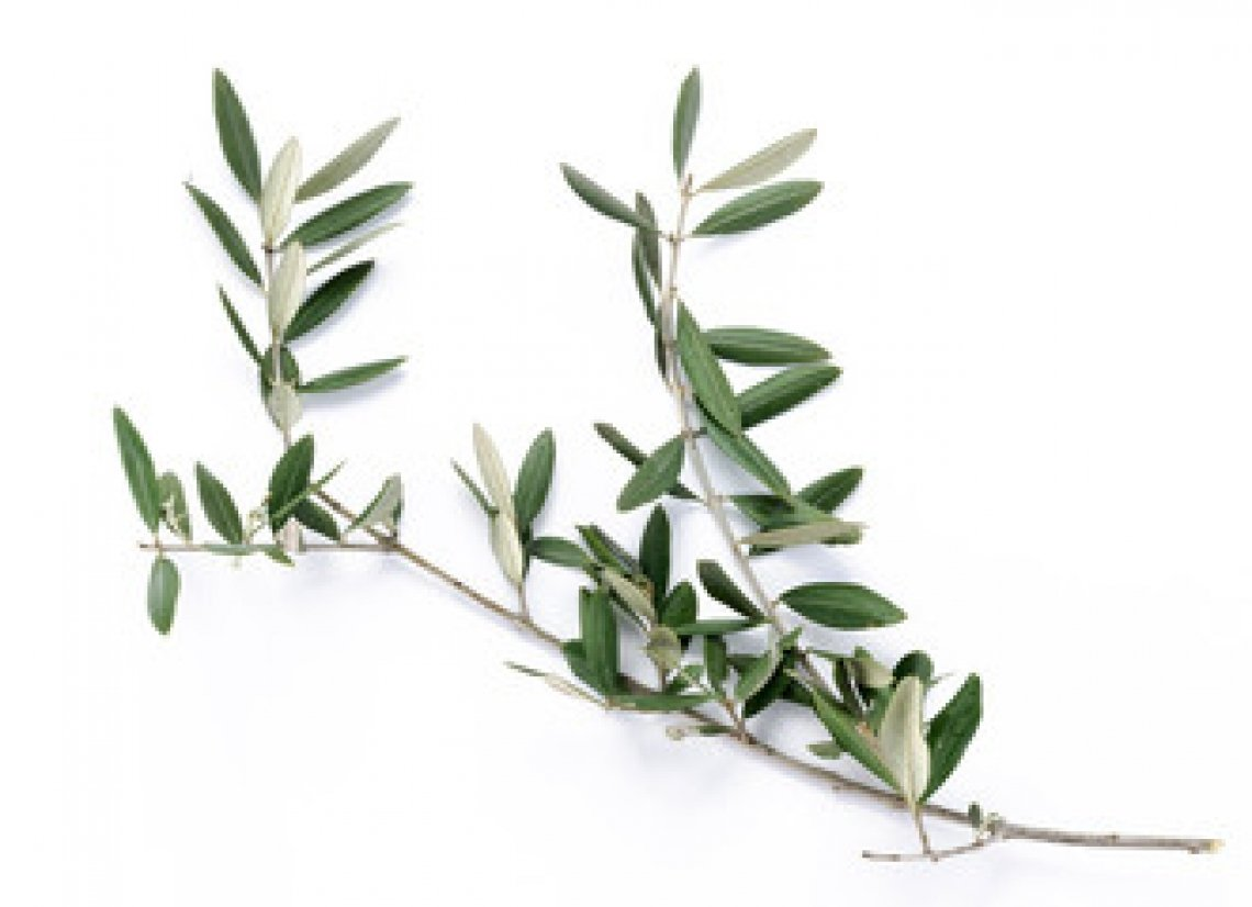 La Pasqua e l'olivo: speranza, benessere e umiltà