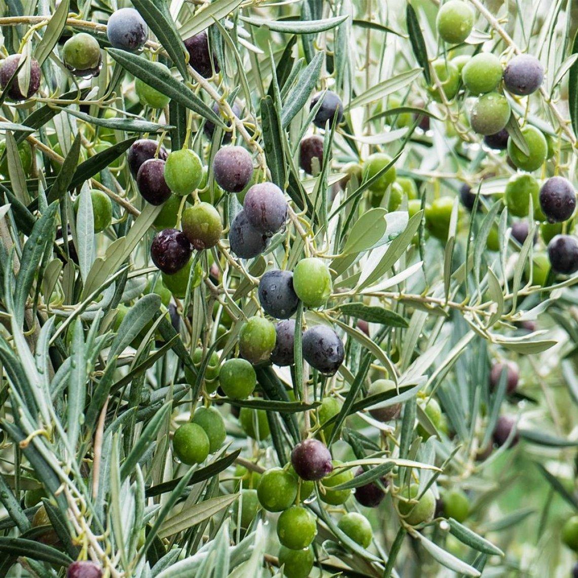 Come capire la corretta maturazione delle olive, dall'analisi colorimetrica al NIR