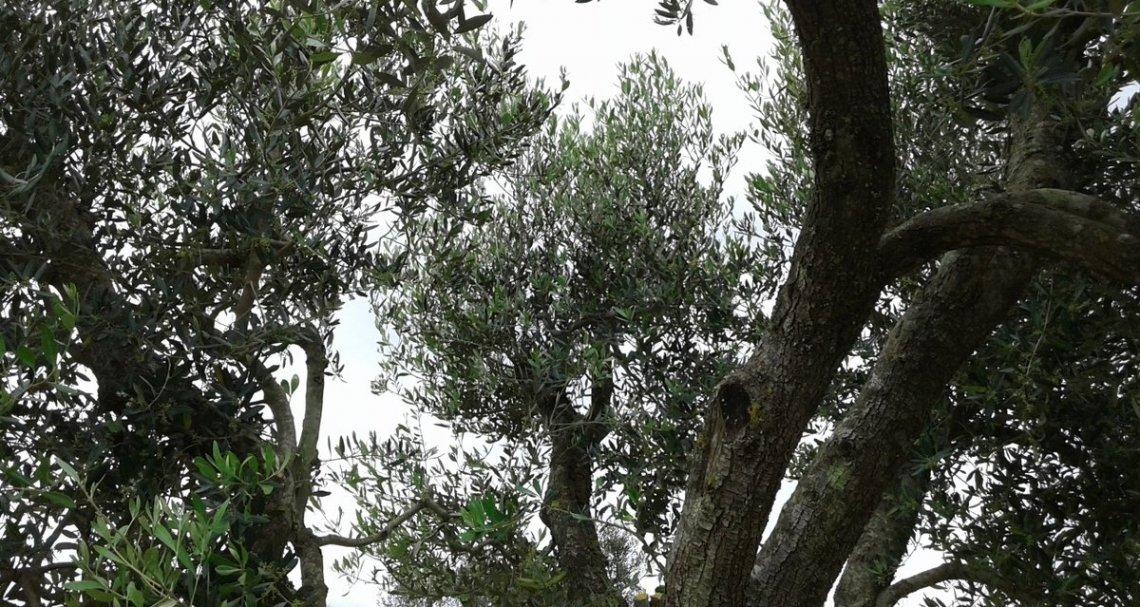 Olivi resistenti e tolleranti alla Xylella, è ora di fare chiarezza