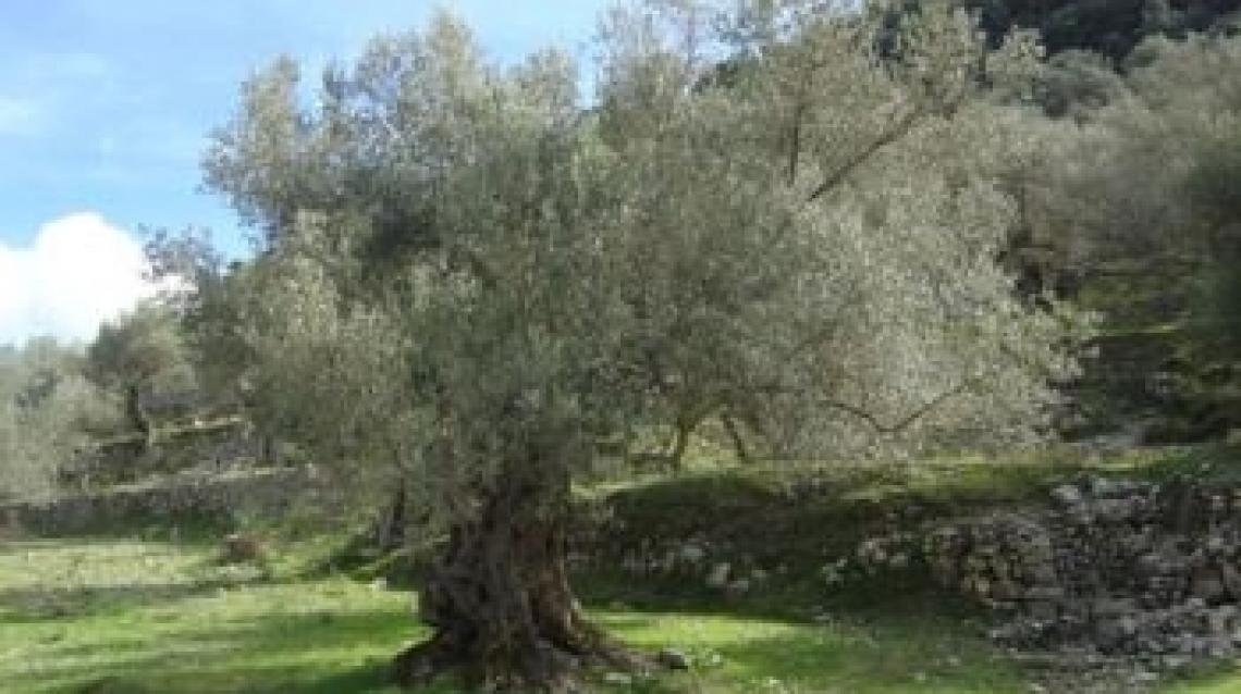 Gli olivi tutelano il territorio contro il rischio idrogeologico