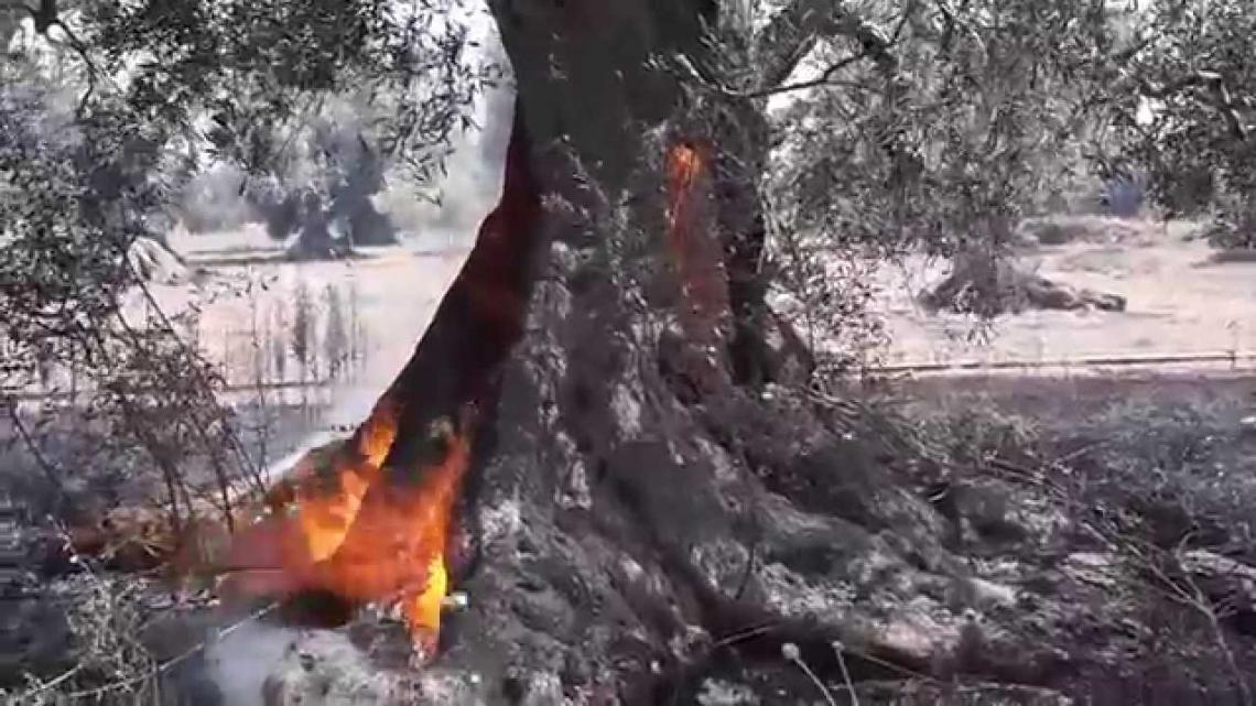 Continuano gli incendi di olivete abbandonate nel Salento