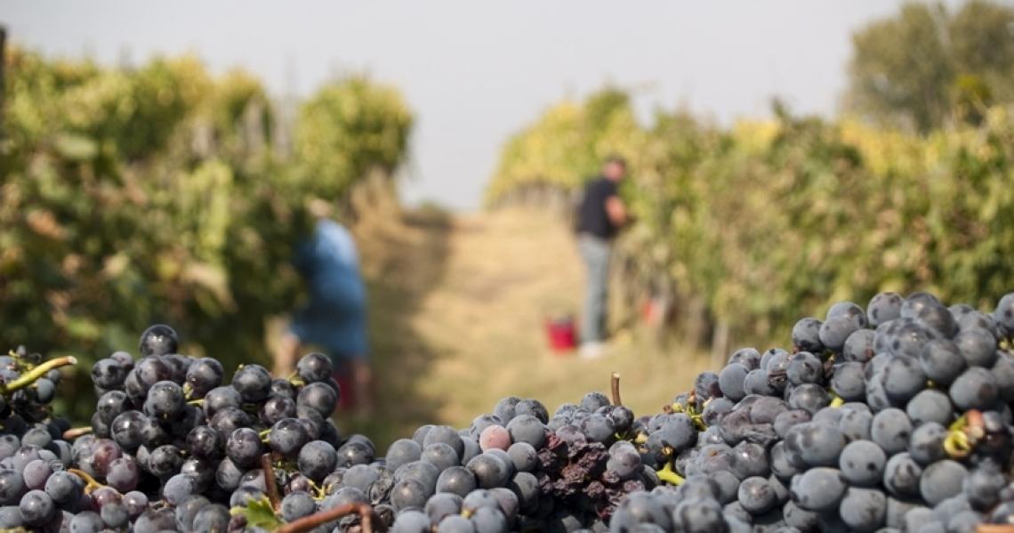 Il turismo del vino in epoca di vendemmia