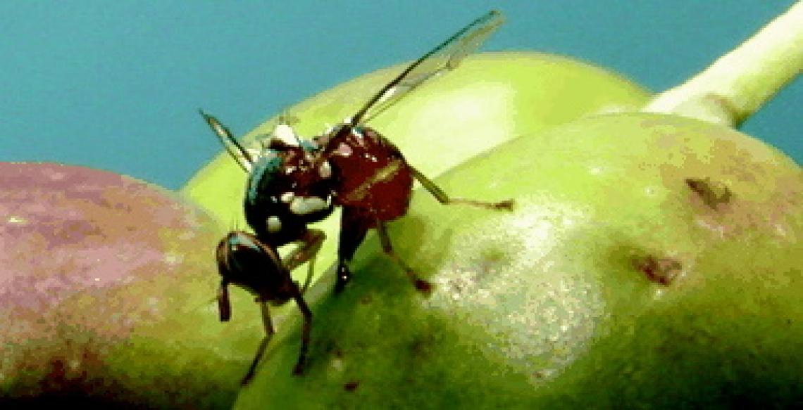 Allerta mosca delle olive in Toscana: difendere la produzione