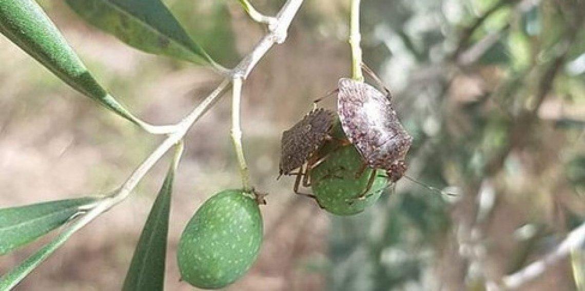 La cimice asiatica è la responsabile dell'anomala cascola verde delle olive